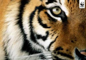 Immagine tigre