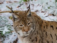Immagine lince