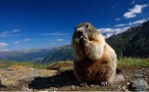 Immagine marmotta
