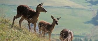 cervo - Alto Adige