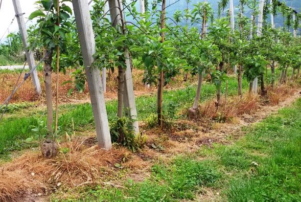 campo-di-mele-con-glifosato
